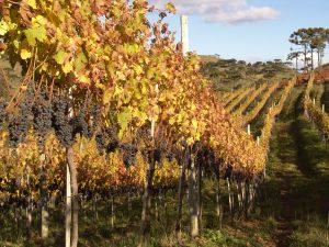 Colheita uvas Cabernet Sauvignon Vinho Vila Bassetti